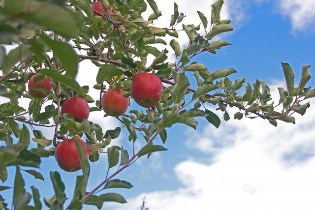 余市のリンゴ