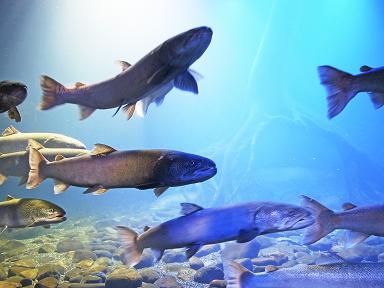 泳ぐ川魚たち