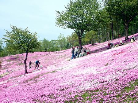 滝上町の芝桜公園
