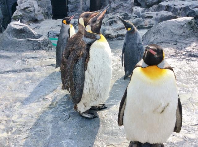 冬の動物園のペンギンたち
