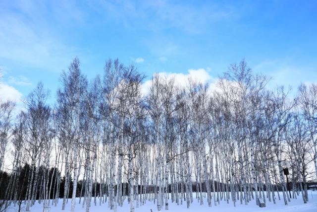 冬の白樺並木
